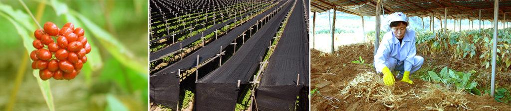 Pěstování ženšenu
